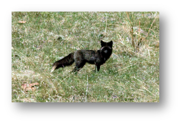 sanitas-black-fox-1-shadowed