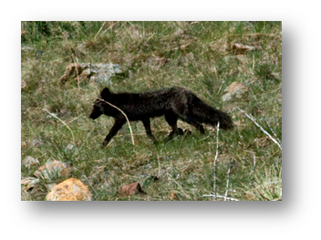 sanitas-black-fox-2-shadowed