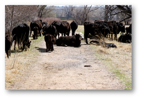 south-boulder-creek-cows-1-shadowed