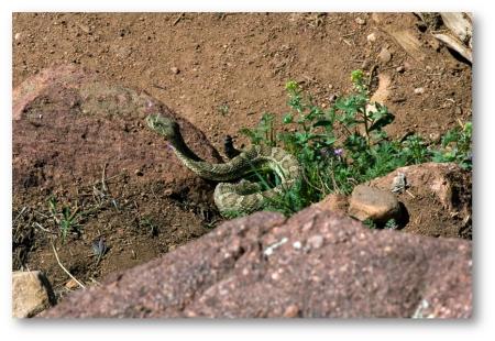 Homestead Snake-1