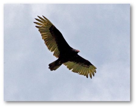 Turkey Vulture in Flight (shadowed)
