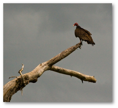 Turkey Vulture on tree (shadowed)
