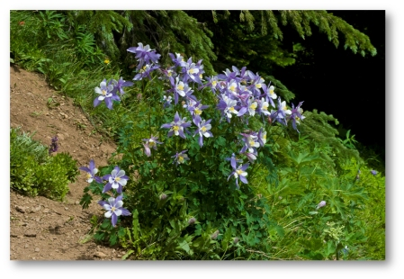 Fourth of July Columbine Bunch