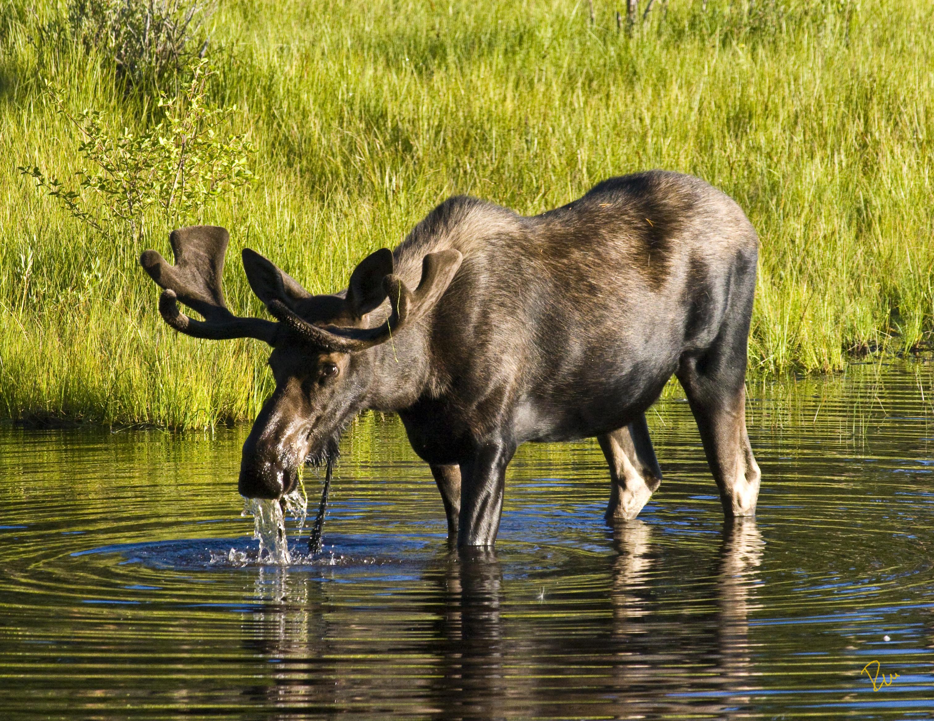 Alces Alces a bull moose Alces alces