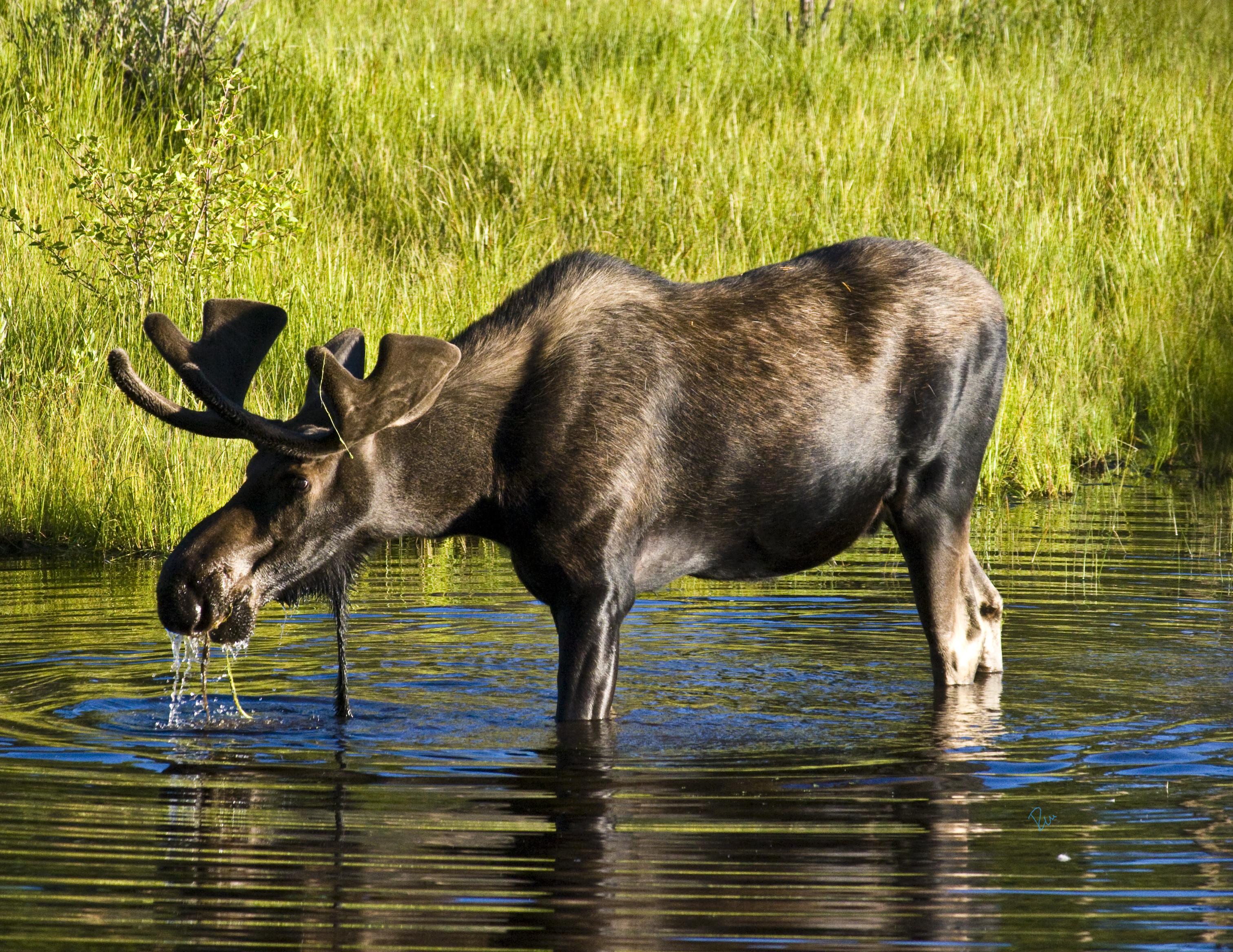 Shiras Moose Tales From The Trails