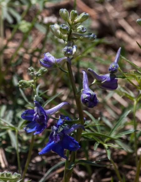 Larkspur (Delphinium nuttallianum)