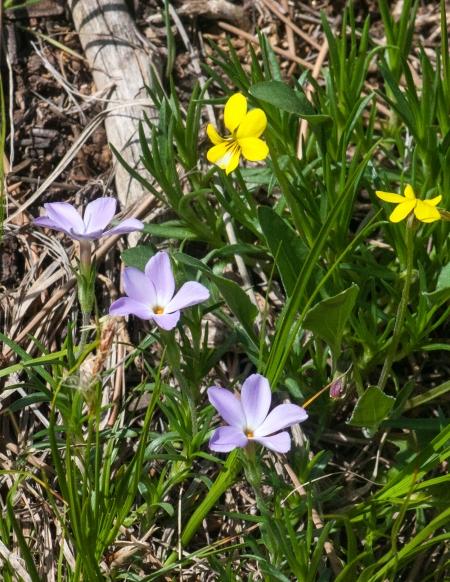 Nuttall's Violets(Viola nuttallii) and Phlox