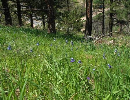 Field Of Sugarbowls (Clematis hirsutissima a.k.a.Coriflora hirsutissima)