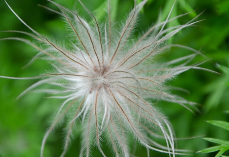 Pasqueflower Seeds (from Wendy's Photography Blog)