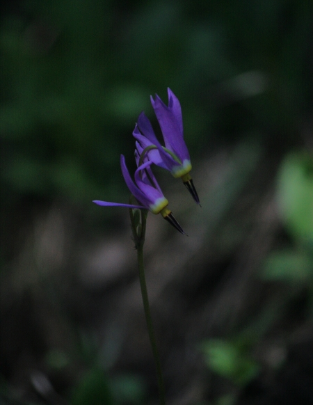 Shooting Star (Dodecatheon)