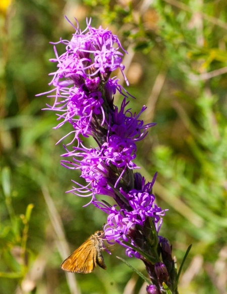 Blazing Star (Liatris)