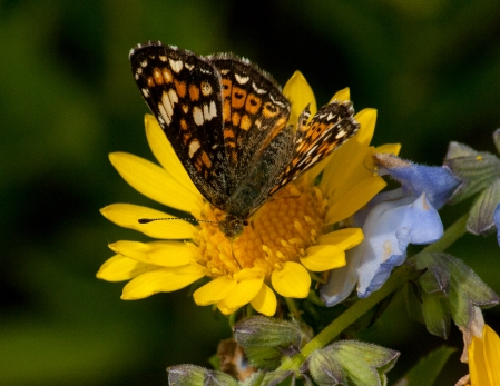 Butterfly on Gumweed (Grindelia squarrosa)