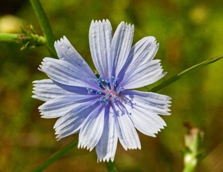 Cichorium intybus (Chicory)