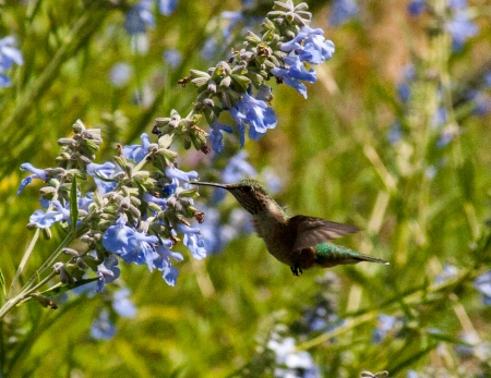 Hummingbird Flight on Salvia Azurea