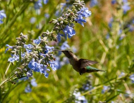 Hummingbird Flight on Salvia Azurea