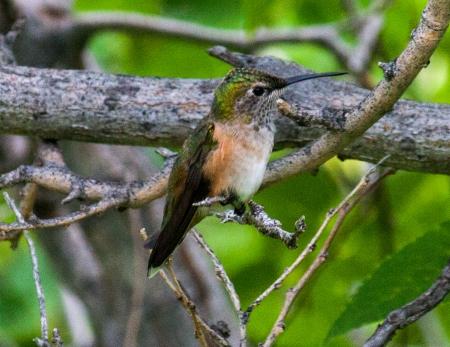 Hummingbird on Tree