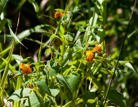 Jewelweed Plant on the Bank of the Silverlake Ditch