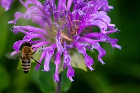 Bee on Bergamot