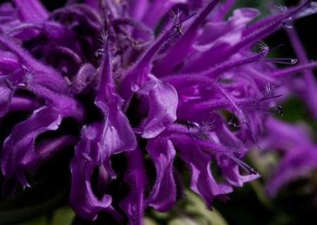 Bergamot Close-up