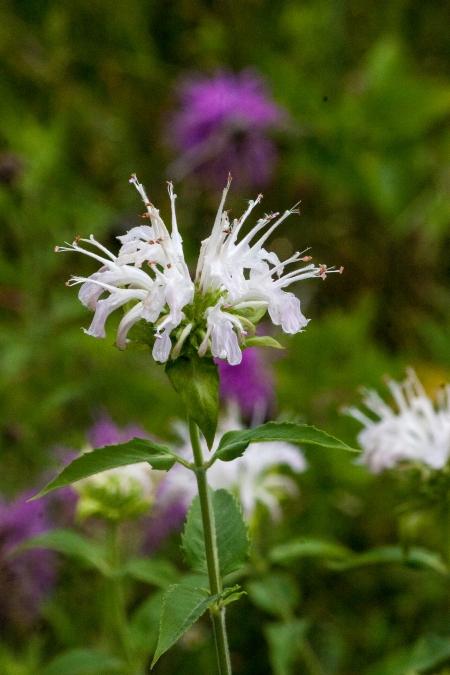 White Bergamot Flower