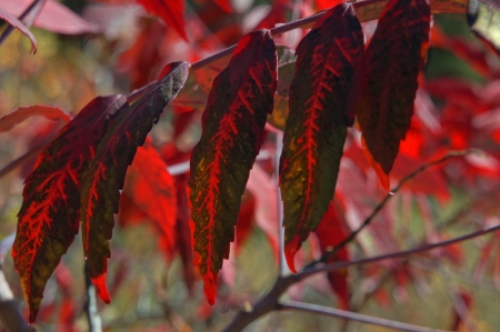 Sumac Leaves in Transition