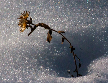 Dried Flowers in the Snow