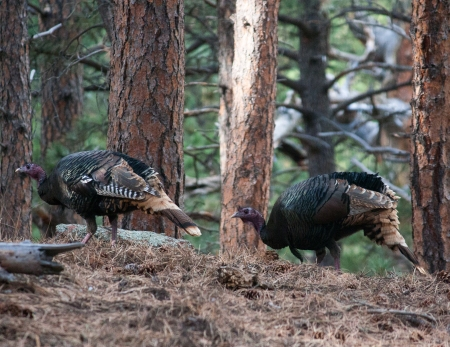 two-turkeys-1