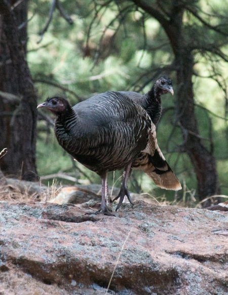 two-turkeys-on-rock