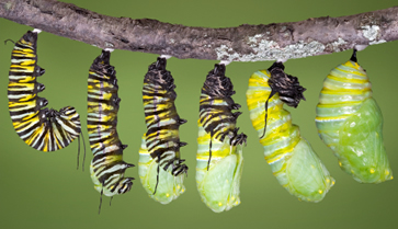 Caterpillar Chrysalis (Monarch-butterfly.com)