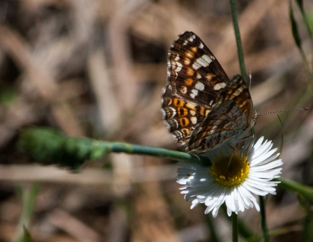 Aster (Asteraceae) with butterfly