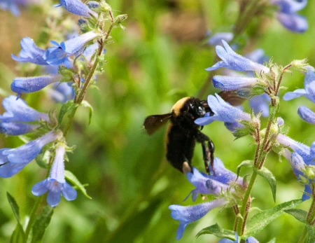 Bee on Penstemon