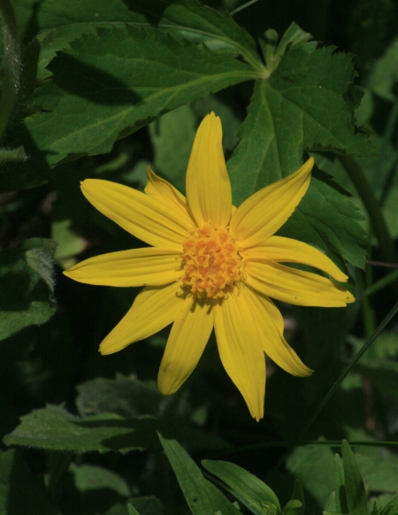 Heart-leaved Arnica (Arnica cordifolia)